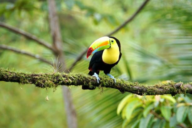 toucan - costa rica - costa rica stockfoto's en -beelden