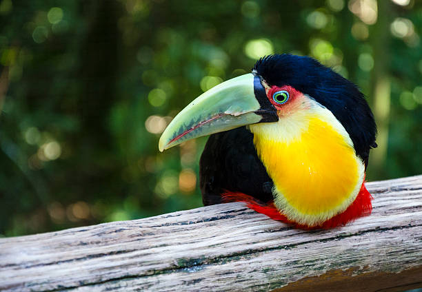 Toucan in the bird park in Foz do Iguacu stock photo
