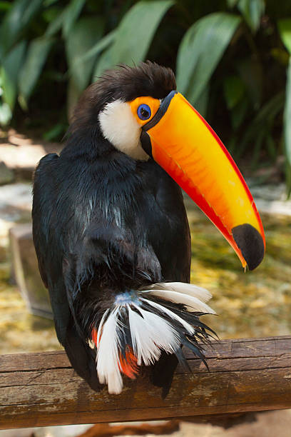 Toucan Looking Over Its Shoulder stock photo