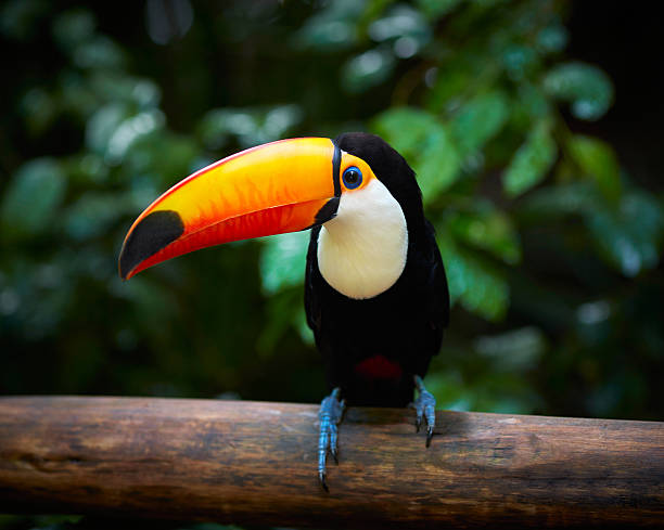 Toucan on the branch in tropical forest of brazil picture id511594914?b=1&k=6&m=511594914&s=612x612&w=0&h=dnwkgy6nre7jlaxcqbf z8gtxf6ppvjjii0fxx zgxu=