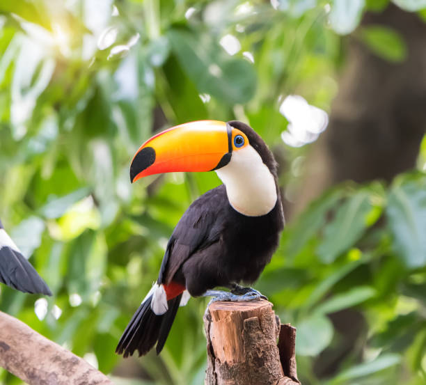 Toucan on the branch Toucan on the branch amazon region stock pictures, royalty-free photos & images