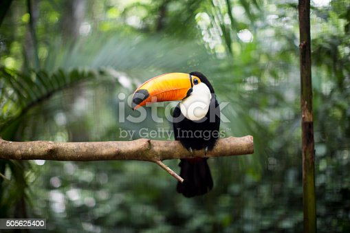 Toucan resting on the branch in the wild