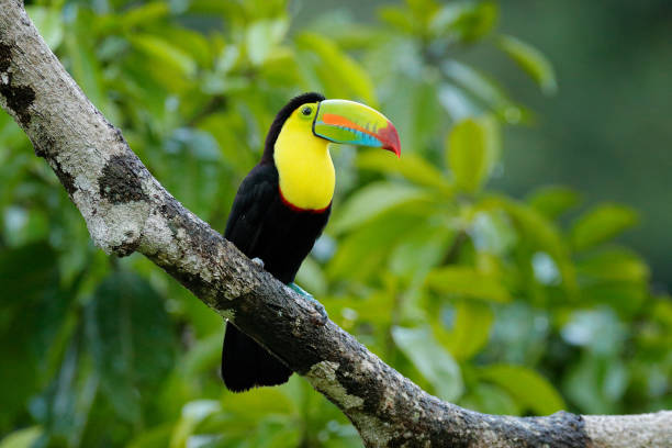 Toucan sitting on the branch in the forest, green vegetation, Costa Rica. Nature travel in central America. Two Keel-billed Toucan, Ramphastos sulfuratus, pair of bird with big bill. Wildlife. stock photo