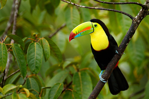 Toucan sitting on the branch in the forest, green vegetation, Panama. Nature travel in central America. Keel-billed Toucan, Ramphastos sulfuratus, bird with big bill. Wildlife Panama.