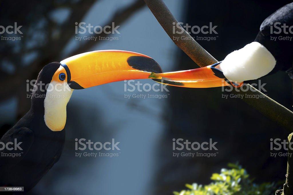 toucans royalty-free stock photo