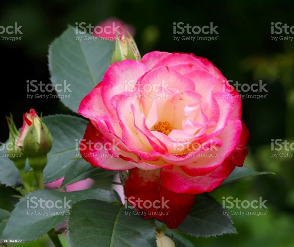 Touch of Class Rose stock photo
