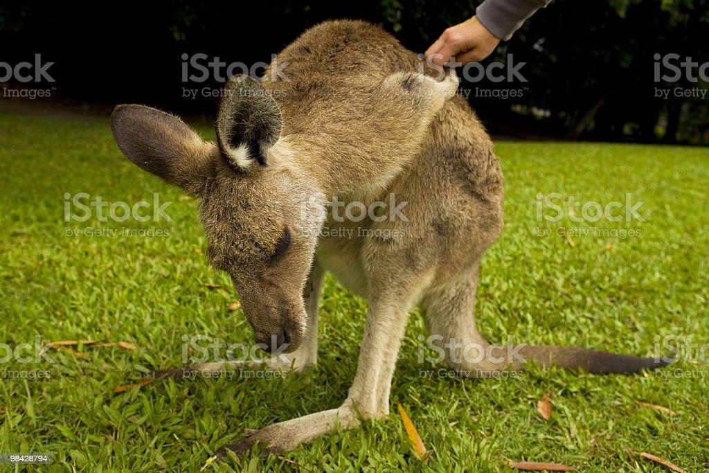 Touching a Kangaroo royalty-free stock photo