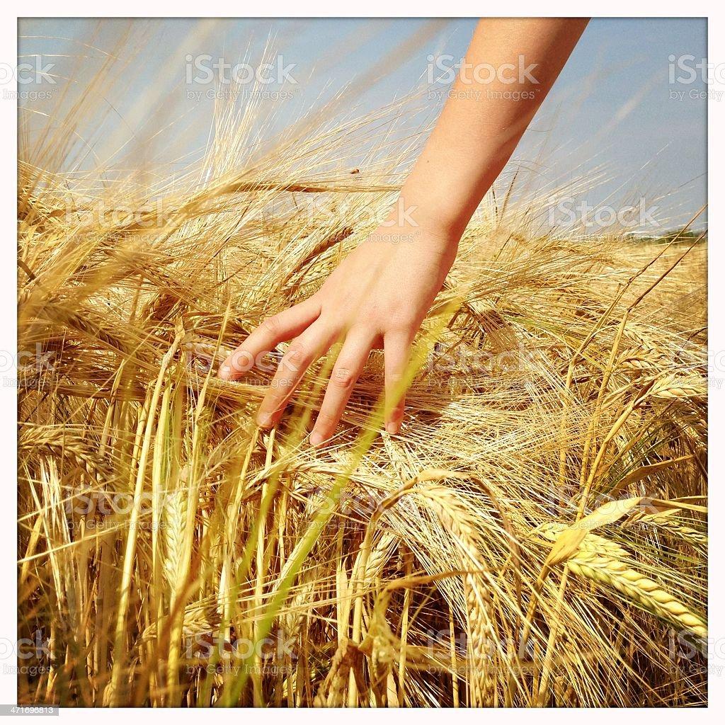 Touching barley royalty-free stock photo