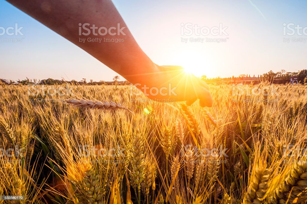 touching golden heads of wheat stock photo