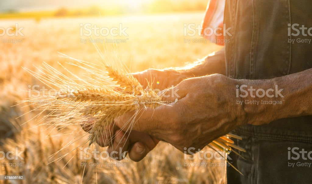 Touching the harvest​​​ foto
