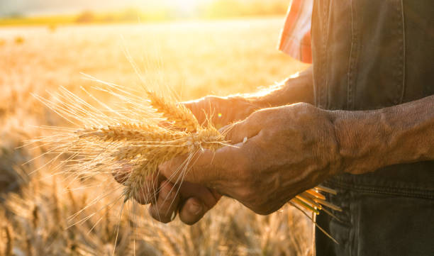 touching the harvest - zaaien stockfoto's en -beelden