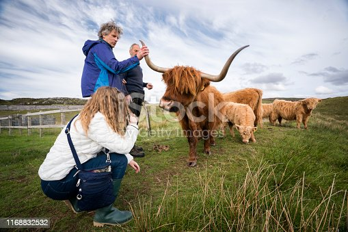 Teenage tourist squats down for a closer look at the adorable calves while her father touches the long horns of a red, rust-colored long-haired cow (Highland Cattle, or Hairy Coos) on a farm with the farmer who owns the croft on the Isle of Lewis, Outer Hebrides, Scotland, UK, Europe