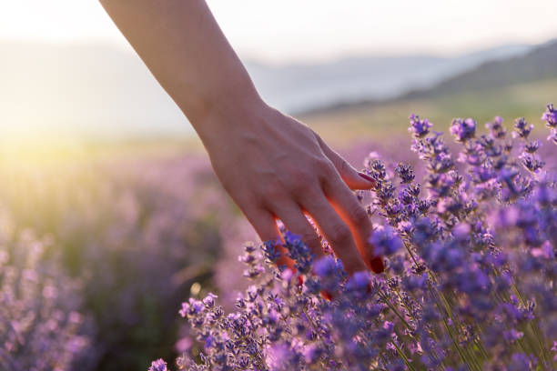 touching the lavender - profumi foto e immagini stock