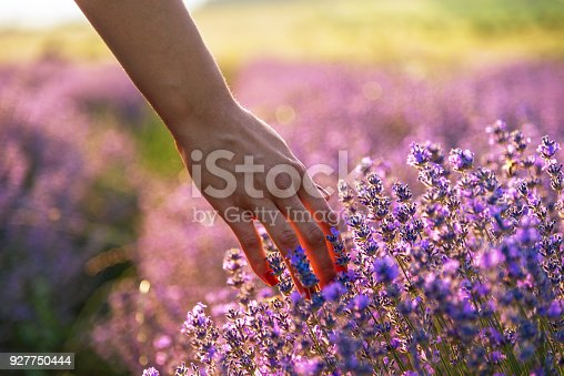 Touching the lavender at beautiful sunset in Bulgaria.