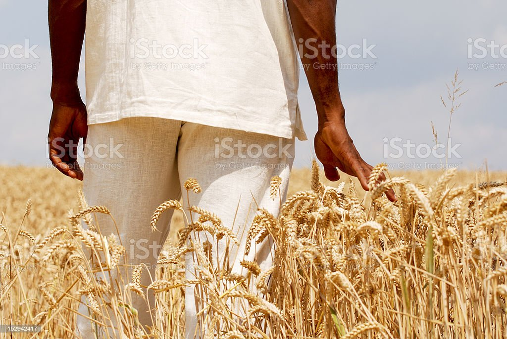 Touching the wheat stock photo
