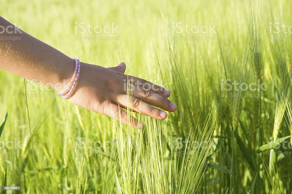 Touching wheat royalty-free stock photo