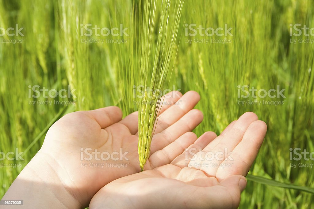 Touching wheat royalty-free stock photo
