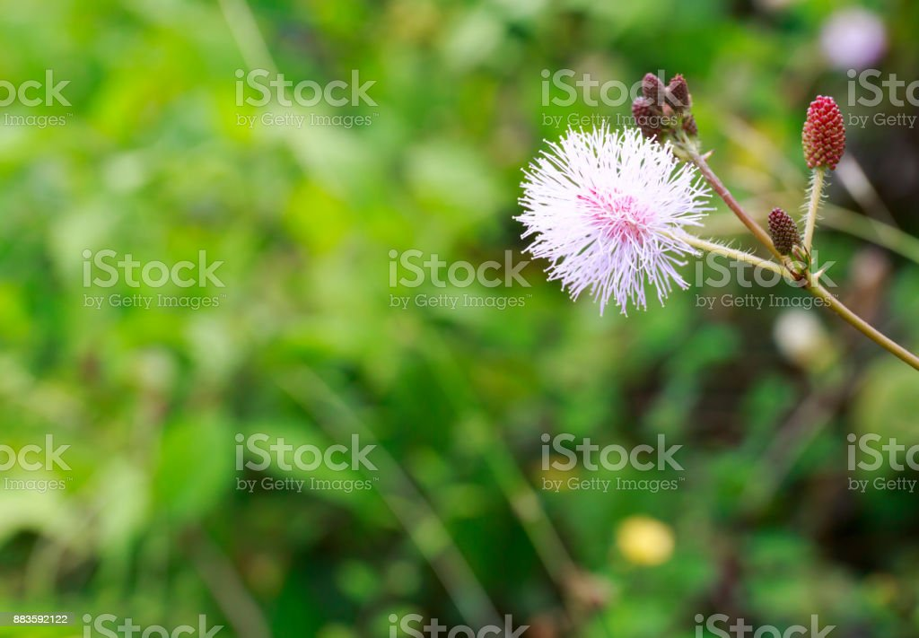 Touch-Me-Not, Also Called Sensitive Plant, Mimosa Pudica, or Shy Plant with Blurry Background stock photo
