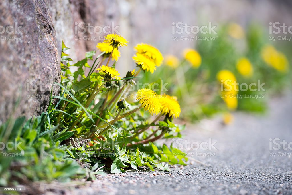 Tough dandelion finding a way stock photo