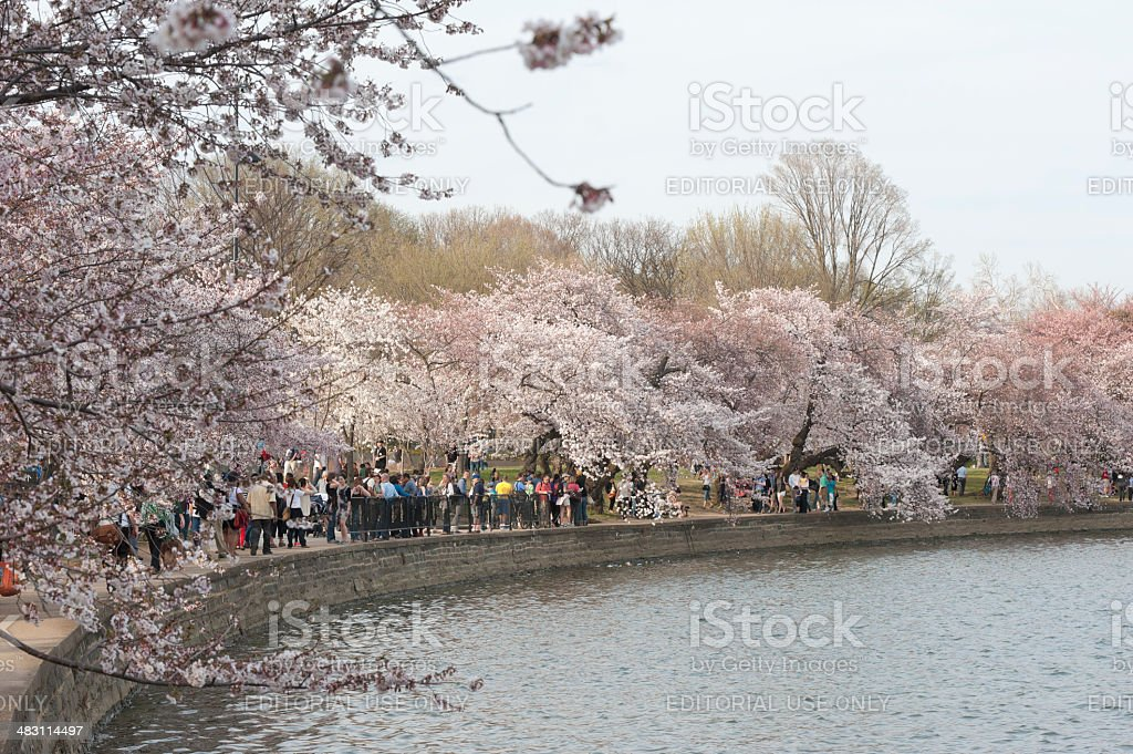 tourist are looking at the cherry blossoms, tidal basin, washington royalty-free stock photo
