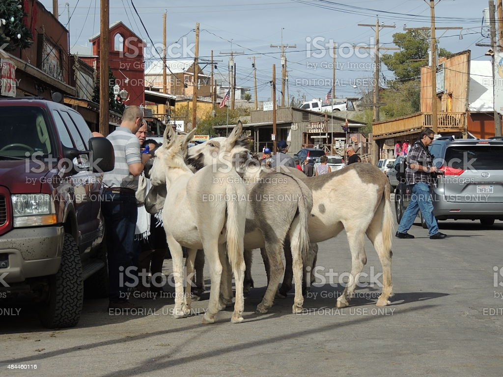 Tourist being mobbed by wild burros stock photo