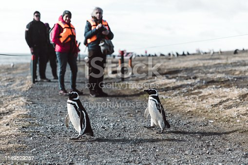 February 09, 2019: Tourists having a tour at the island with Magellanic penguins and looking how penguins crossing the road, Punta Arenas, Patagonia, Chile
