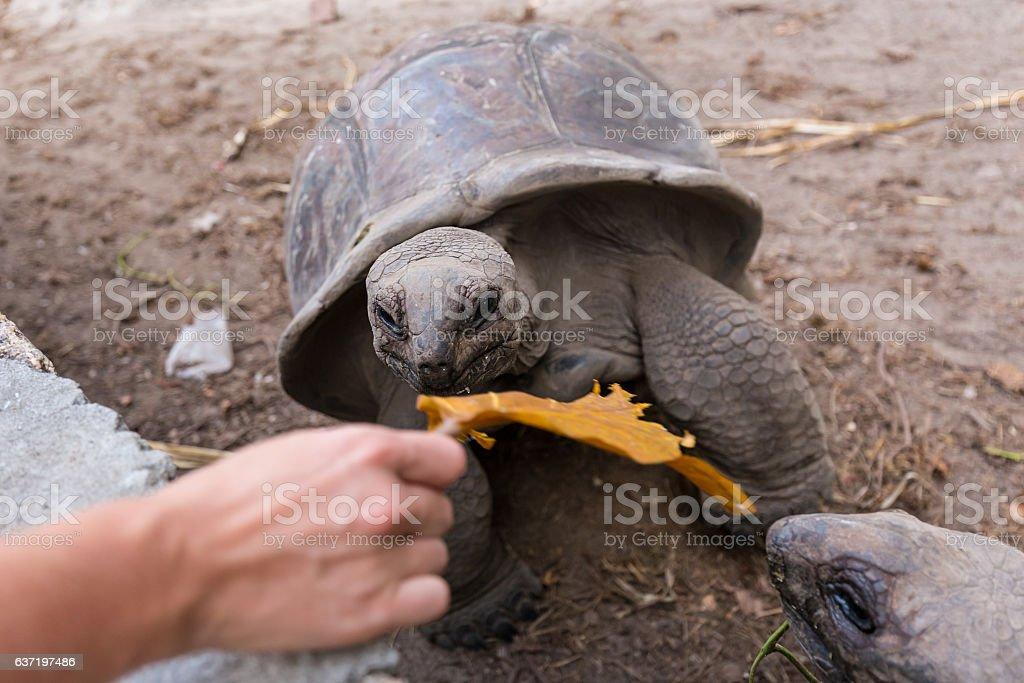 Tourist feeding Aldabra giant tortoises on La Digue island, Seychelles. Lizenzfreies stock-foto