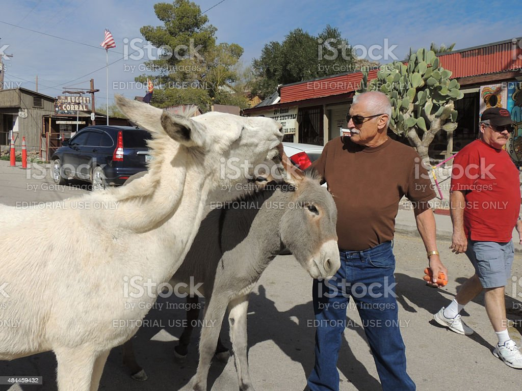 Tourist feeding wild burros stock photo