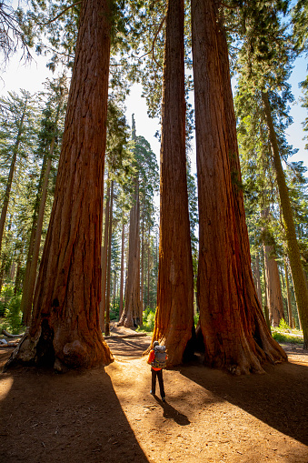 Hiker walking with a backpack in between redwood trees in Sequoia National Park. National park in the Sierra Nevada mountains, California, U.S.