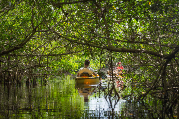 Tourist kayaking in mangrove forest stock photo