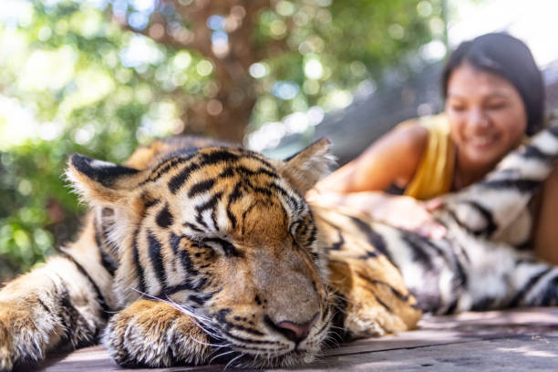 tourist petting tiger cub - animals in captivity stock pictures, royalty-free photos & images