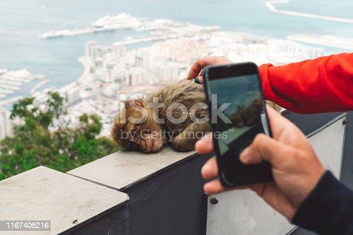 Monkey sleeping on the fence, tourist petting the monkey. Human hands touching the wild animal. Tourist taking a photo of the monkey.