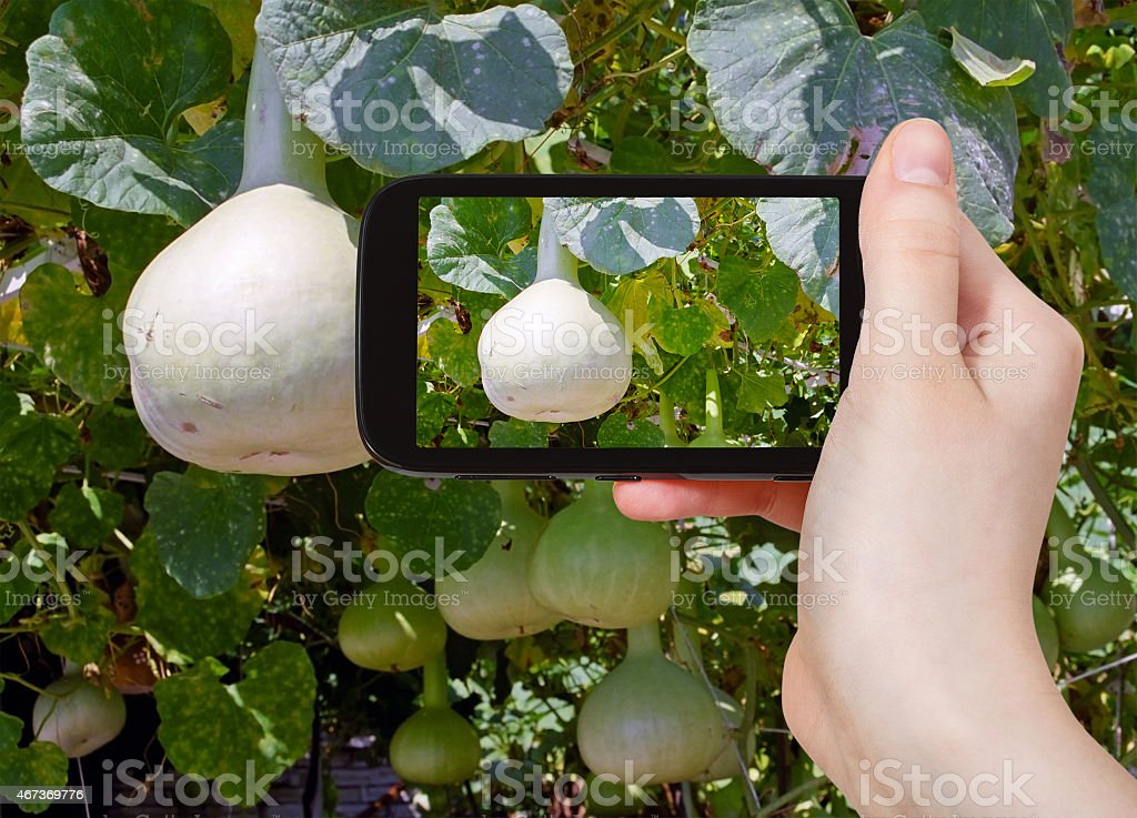 tourist taking photo of bottle gourds on vine stock photo
