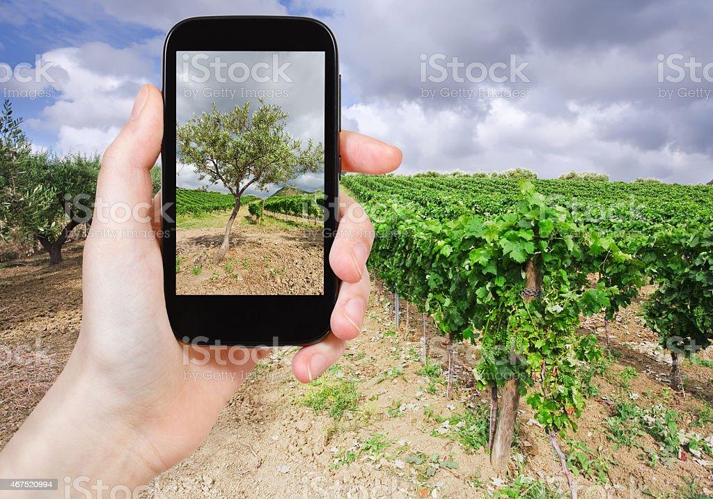 tourist taking photo of olive garden, Italy stock photo