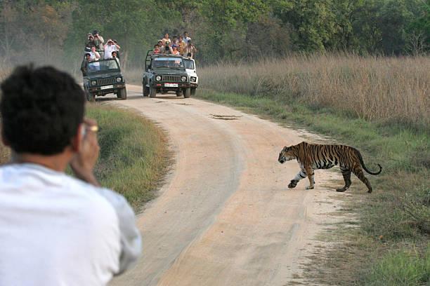 Tourist traffic photographs wild female tiger crossing road Kanha India stock photo