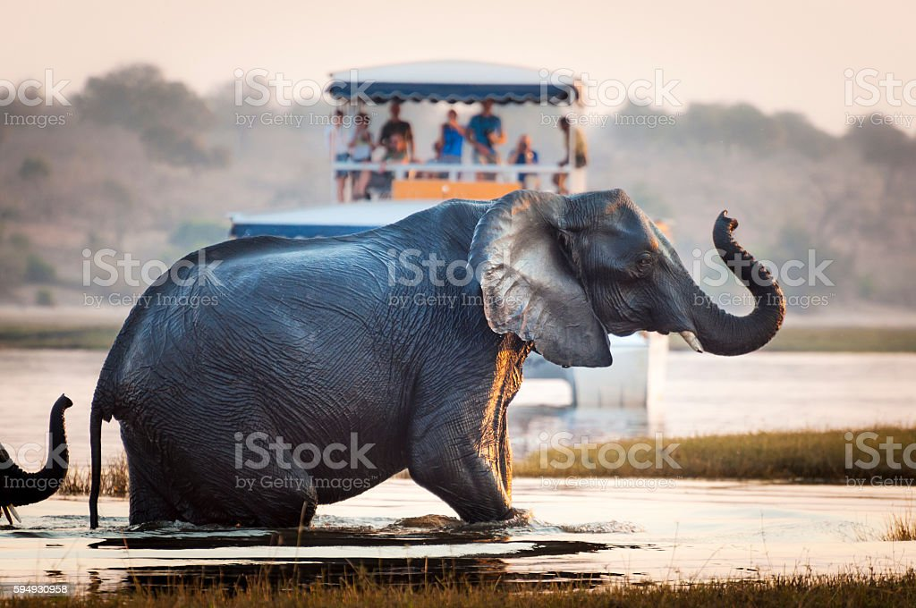 Tourist watching an elephant in Botswana stock photo