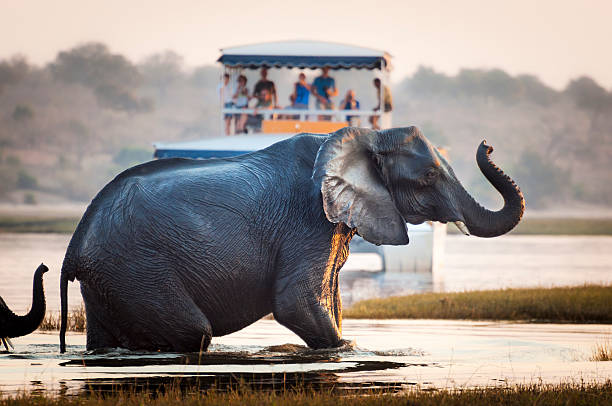 tourist watching an elephant in botswana - safari stock photos and pictures