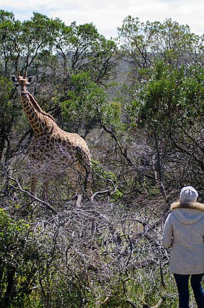Tourist watching giraffe stock photo