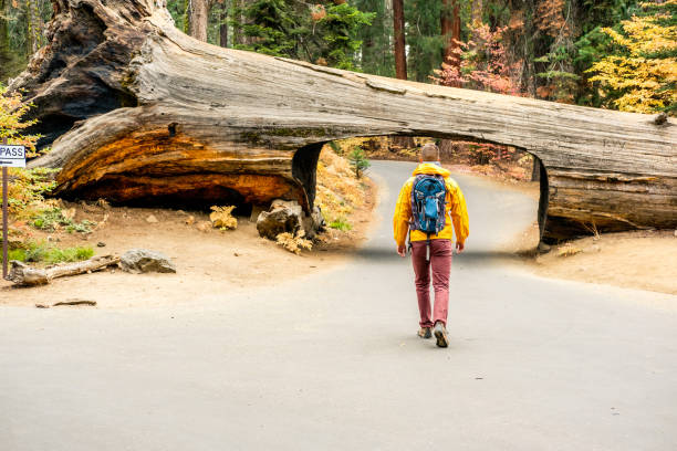 Tourist with backpack hiking in Sequoia National Park Tourist with backpack hiking in Sequoia National Park. California, United States. fallen tree stock pictures, royalty-free photos & images