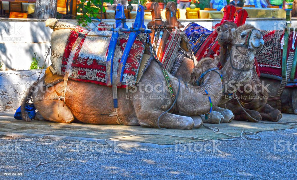 Touristic camel in cappadocia stock photo