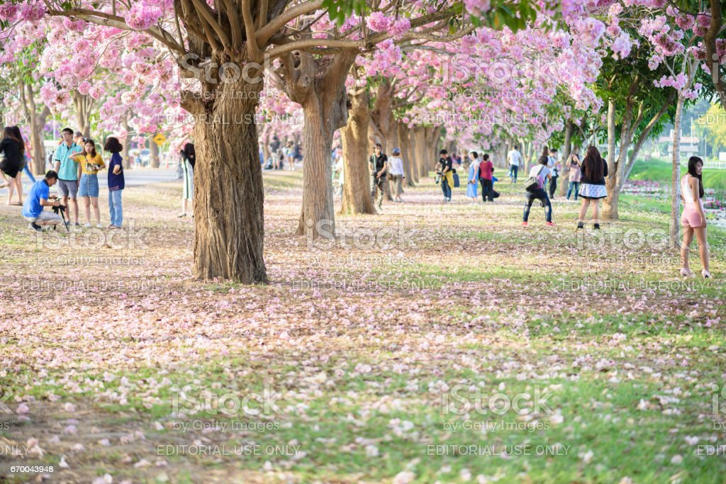 Tourists and photographers travel. Tabebuia rosea is a Pink Flower neotropical tree. stock photo