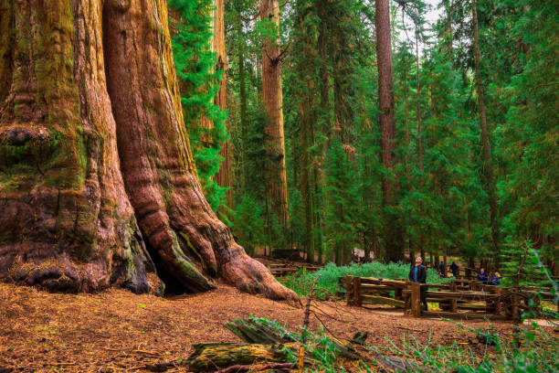 Tourists by a giant sequoia tree stock photo