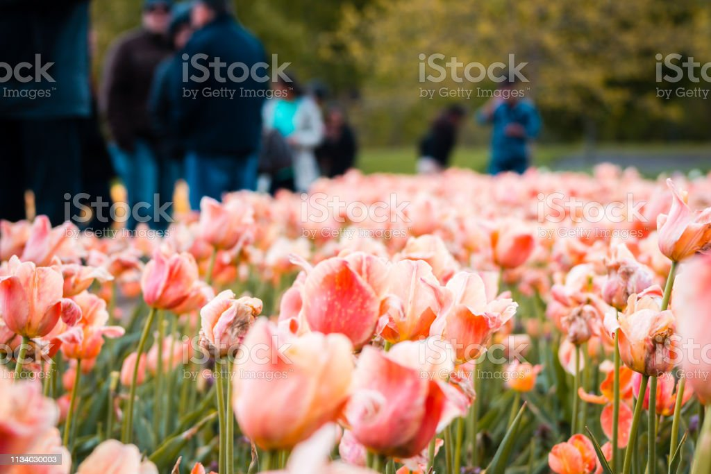 Holland Mi Tulip Festival 2020.Tourists Examining The Tulips During The Tulip Festival In
