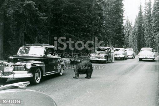 Tourists in cars stop on road to look at bear in Yellowstone National Park, Wyoming, USA. One man is out of his car taking a photo of the bear. 1953. Scanned film.