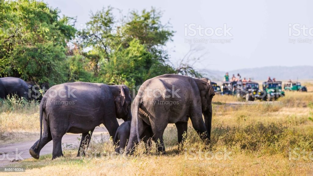 Tourists looking at a Sri Lankan Elephant family  walking out of the busches stock photo