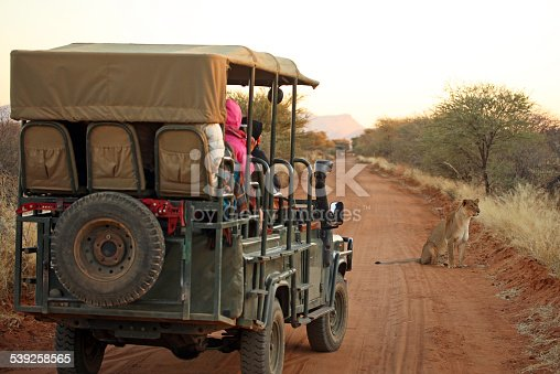 Rear view of an open safari jeep with tourists watching and photographing a lion on an early morning safari drive in Namibia. Lioness is sitting on a red sand road and watching something attentively in the savannah.
