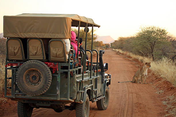 tourists on safari jeep watching lion in namibia africa - safari stock photos and pictures