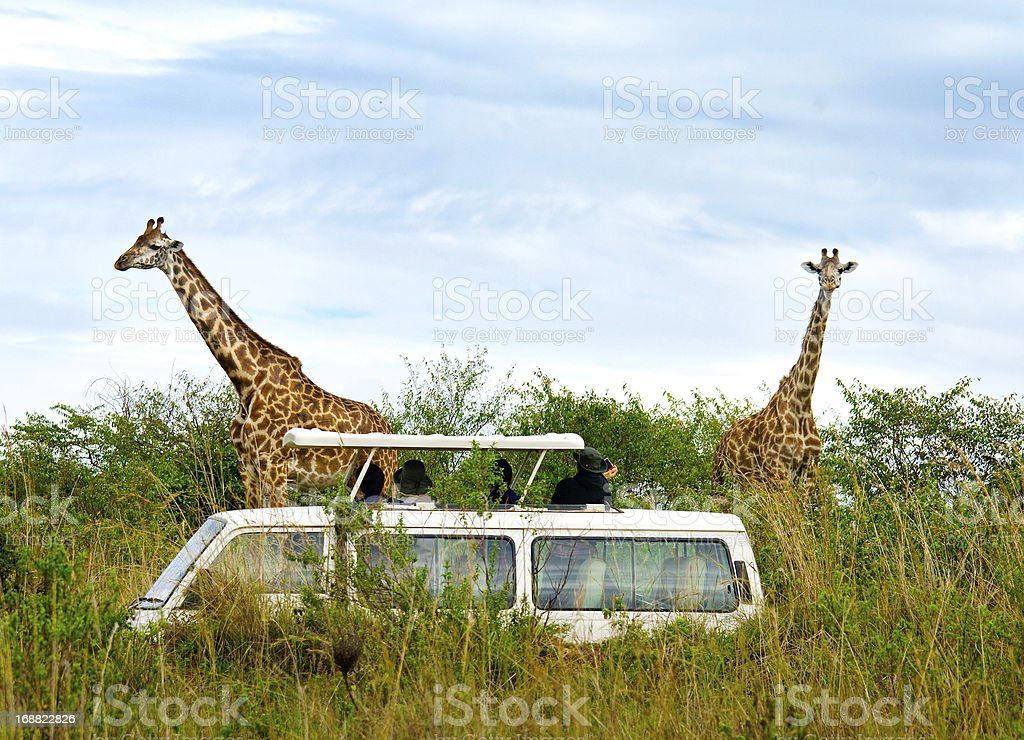 Tourists on safari take pictures of giraffes stock photo