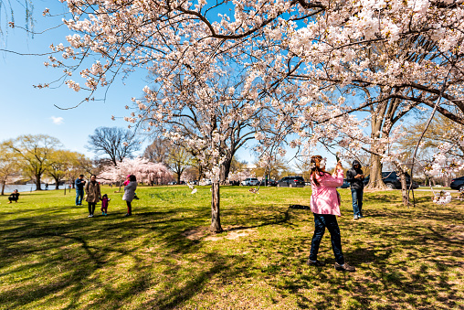 Washington DC, USA - April 5, 2018: Tourists people taking pictures by cherry blossom sakura trees in spring on West Potomac park on National mall