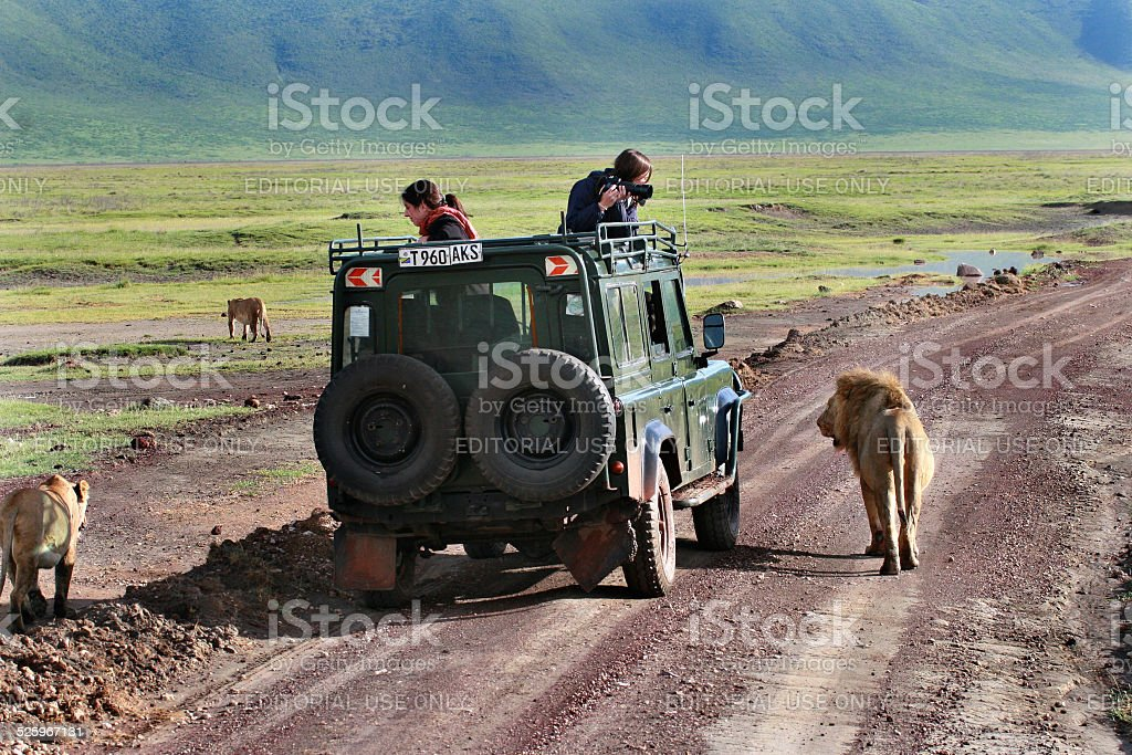 Tourists photograph wild lions, looking out of the hatch jeep. stock photo